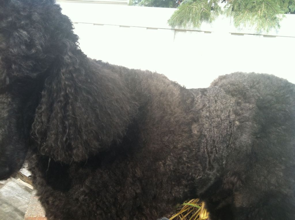Black standard poodle in a Desi cut.