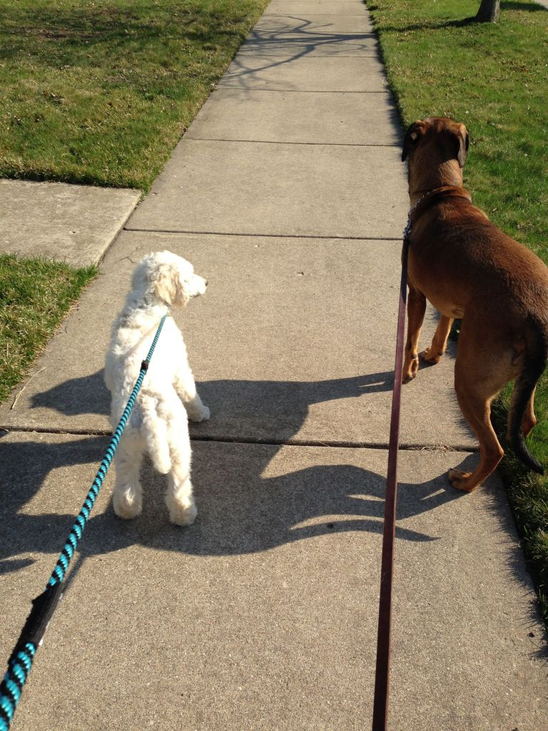 Two dogs walking on leashes.