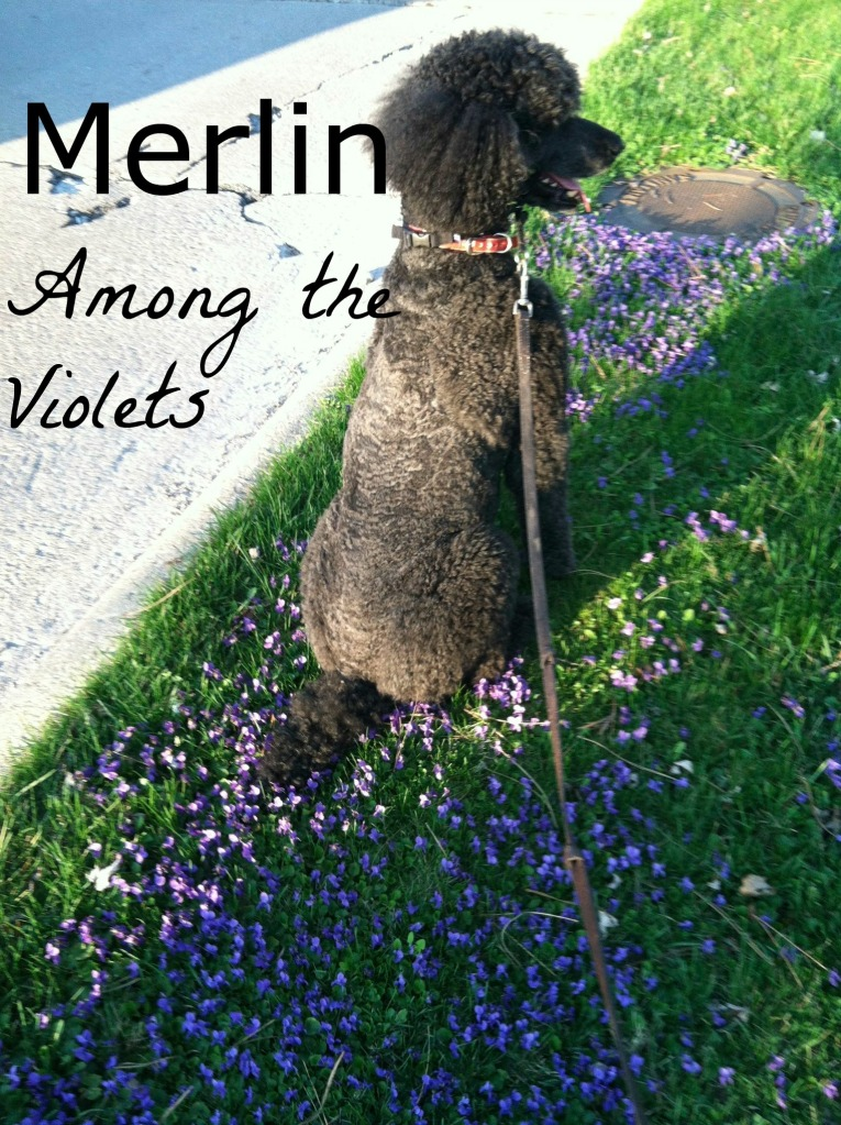 Merlin Among the Violets